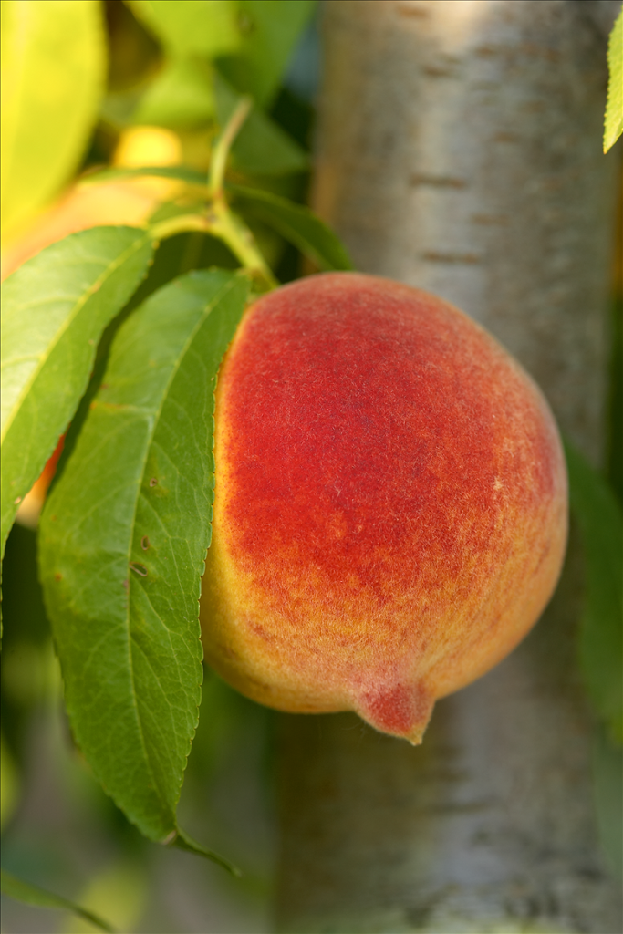 Peach-on-tree-2-Resized-.png