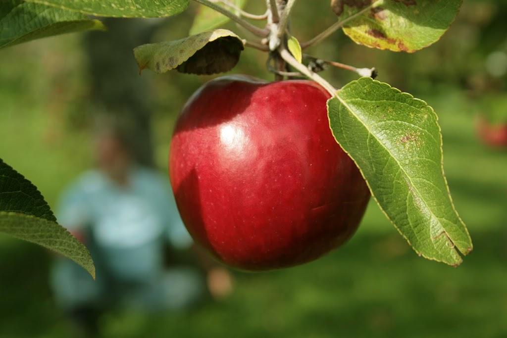 apple-2Bon-2Btree-300x2001.jpg
