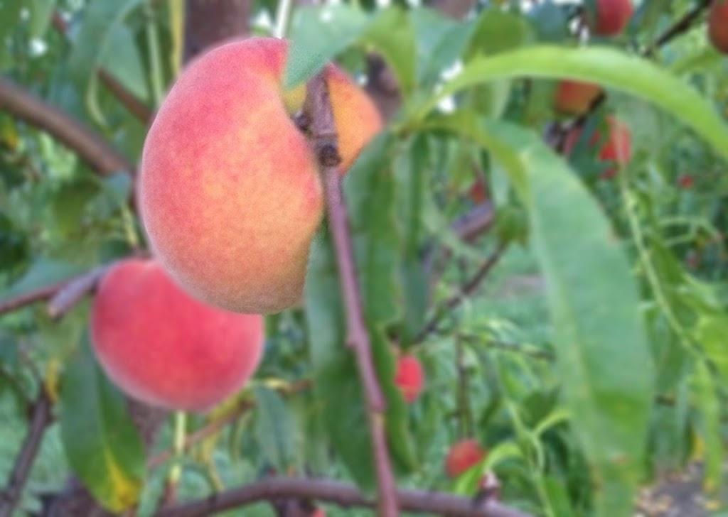 Homegrown Peaches