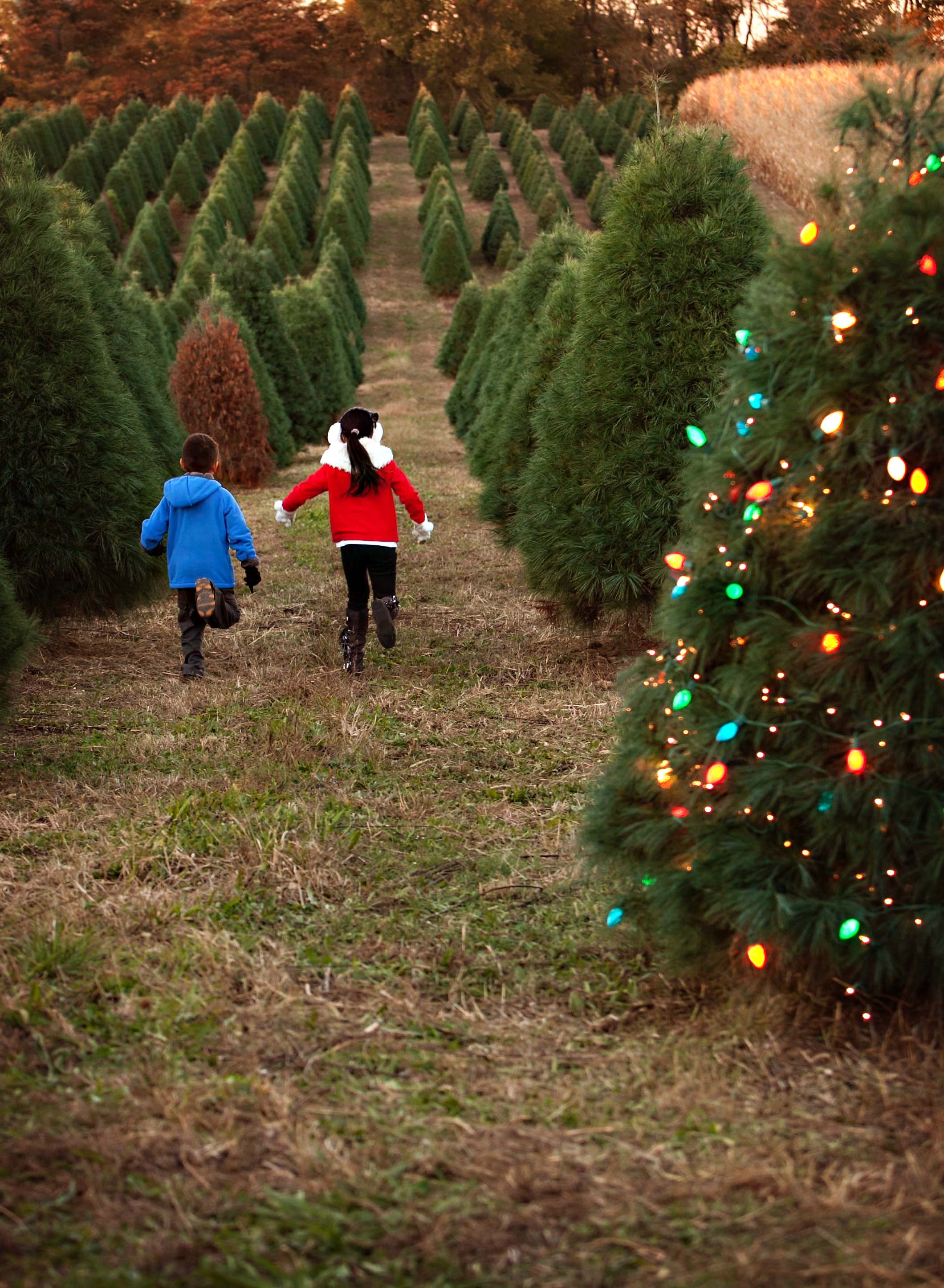 Pick Or Cut Your Own Christmas Tree Eckert S