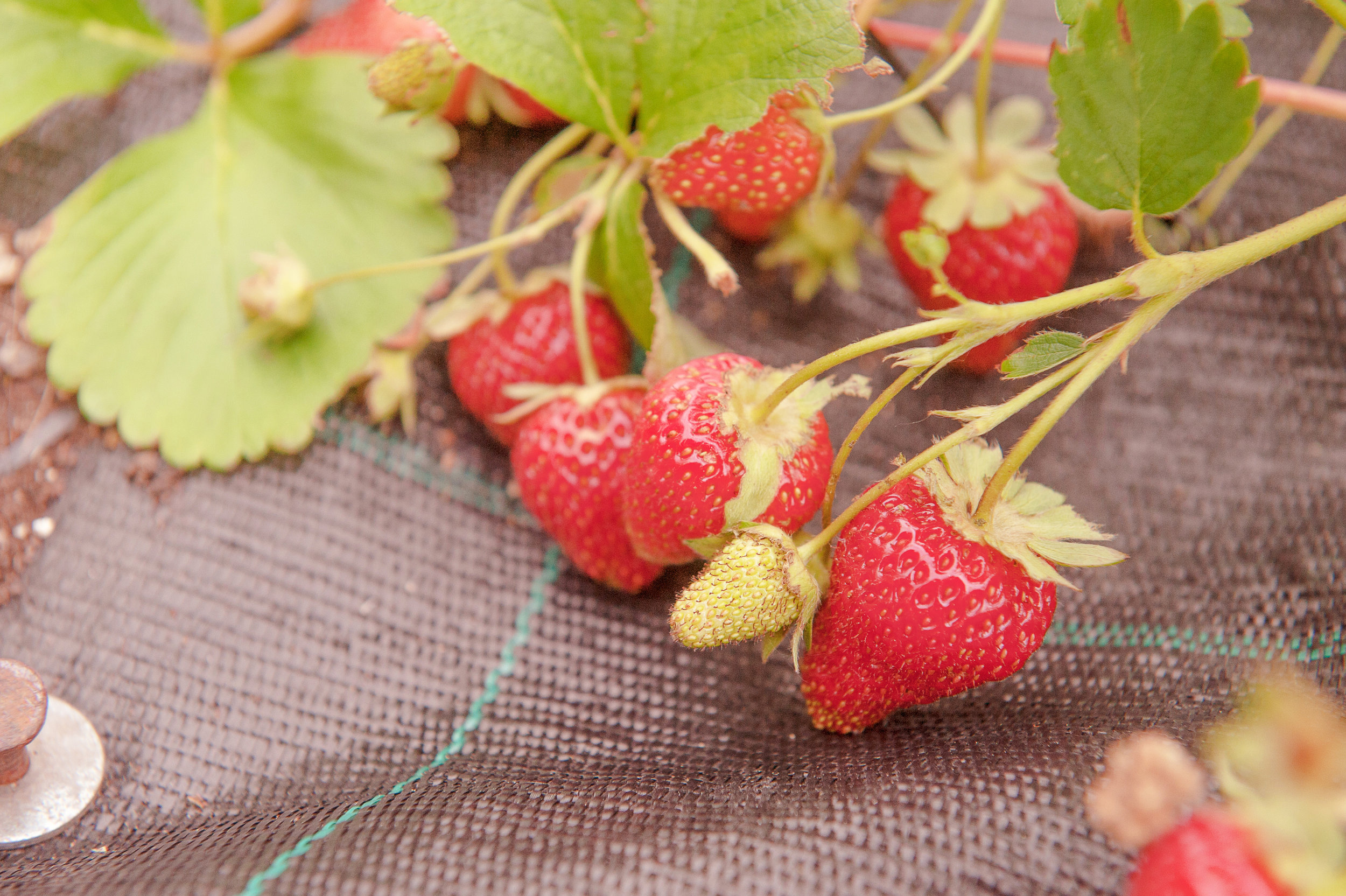 Synthetic Mulch - Strawberry Plants