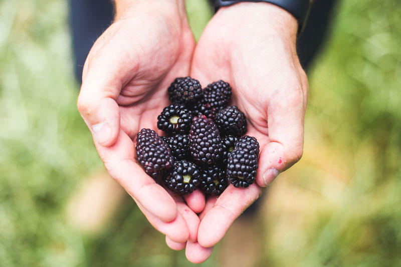 Notes from the Farm---Eckert's-Blackberries-2.jpg