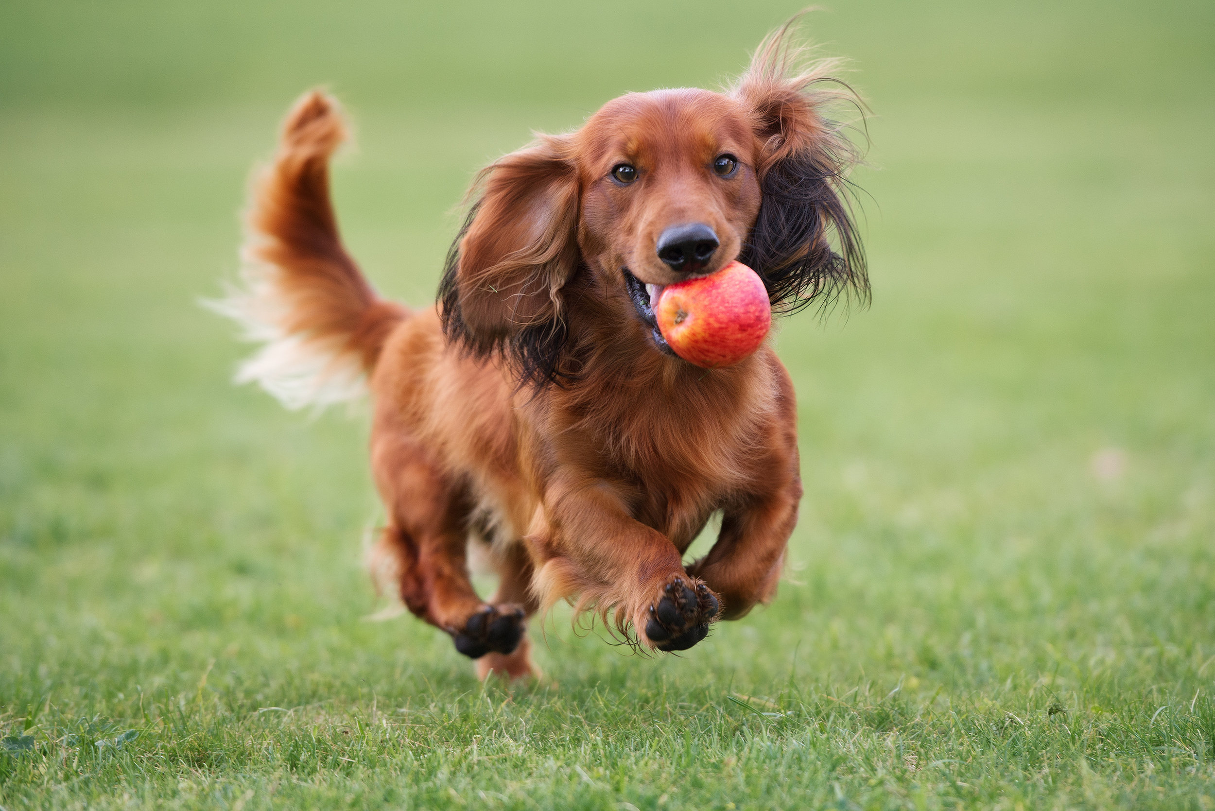Can Dogs Eat Apples.jpg