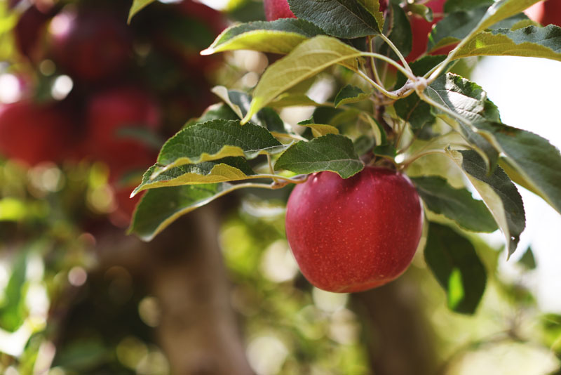 What Vitamins Are In Apples Apple Nutrition Facts