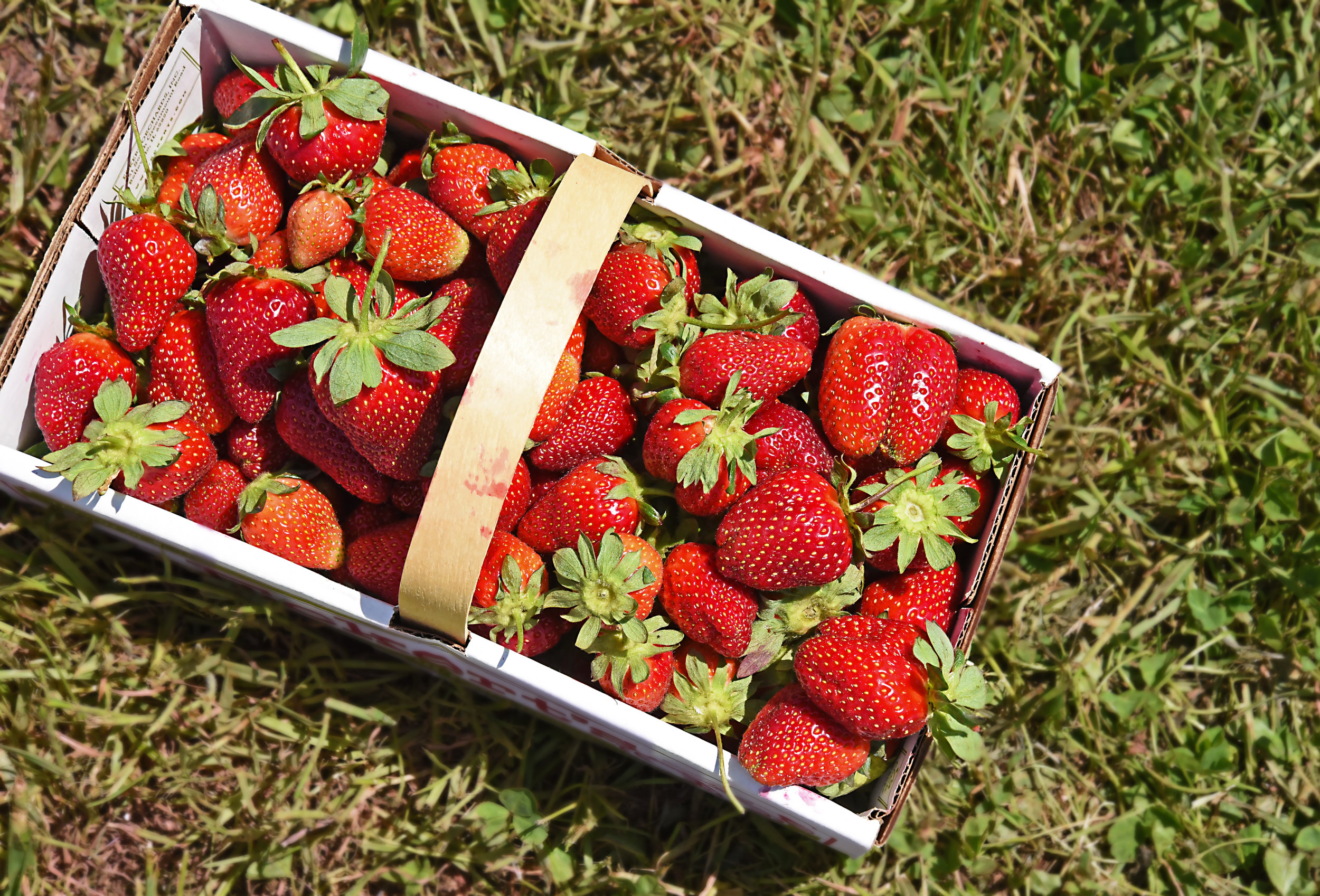 strawberry_picking (29).JPG