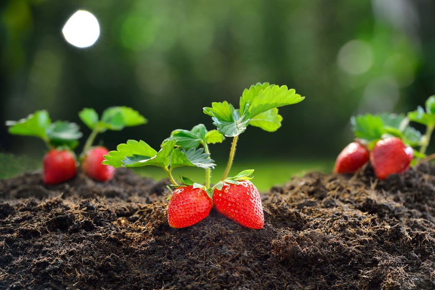 strawberry plants.jpg
