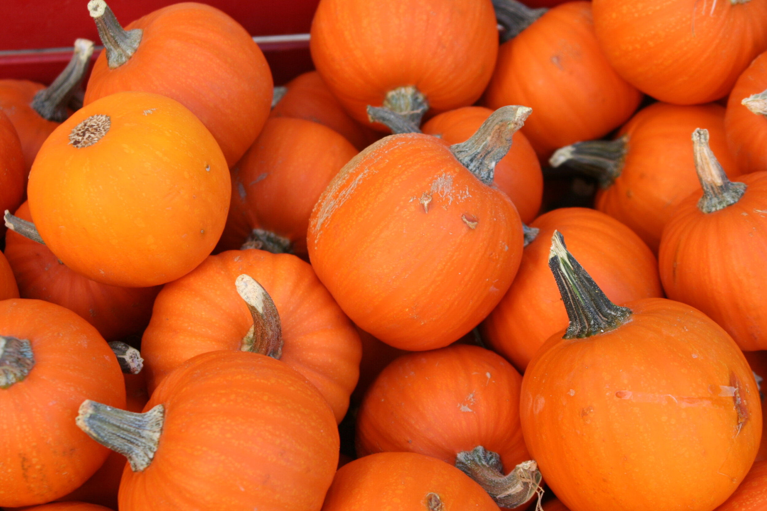pie pumpkins - horizontal.jpg