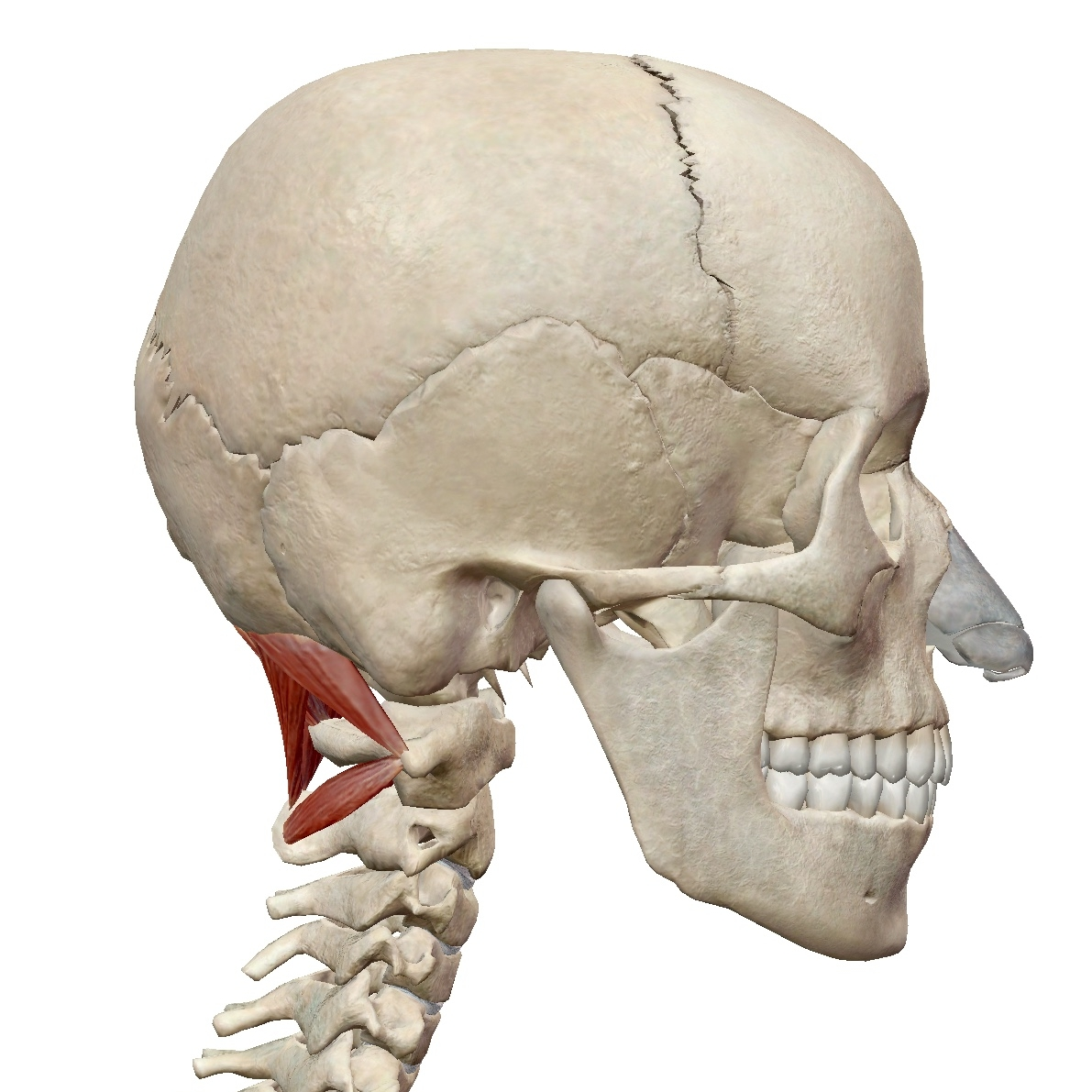 lateral view of suboccipitals