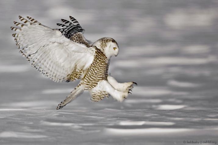 ted-busby-snowy-owl.jpg