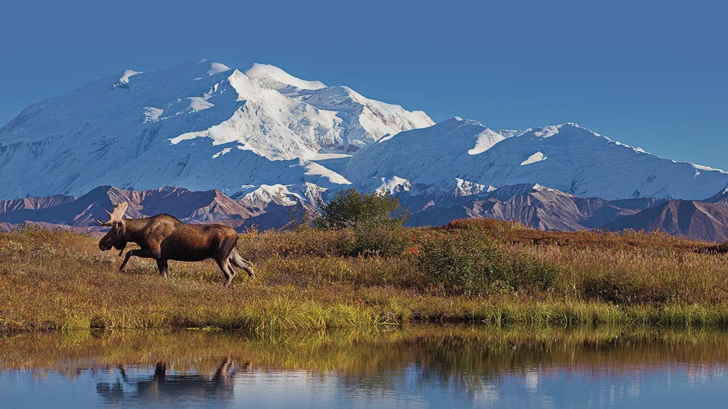 HPHero_AK-Denali-moose2_lg_020516.jpg