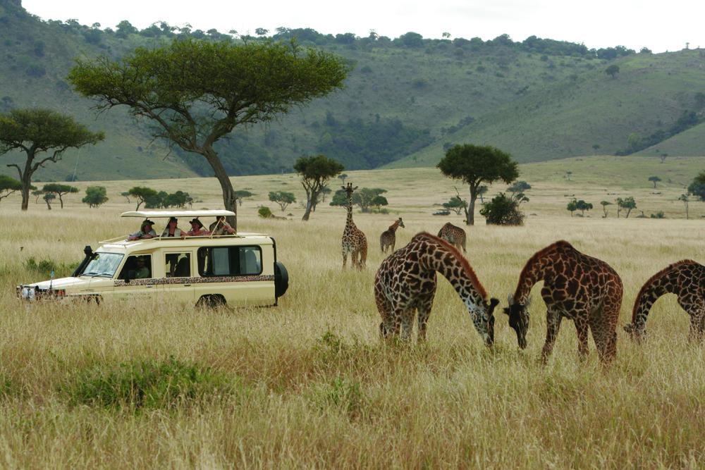 Safari vehicle with giraffes.jpg