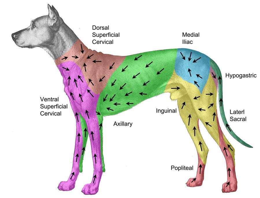Canine lymphatic mapping : know which lymph nodes are likely to drain which regions of the dog.