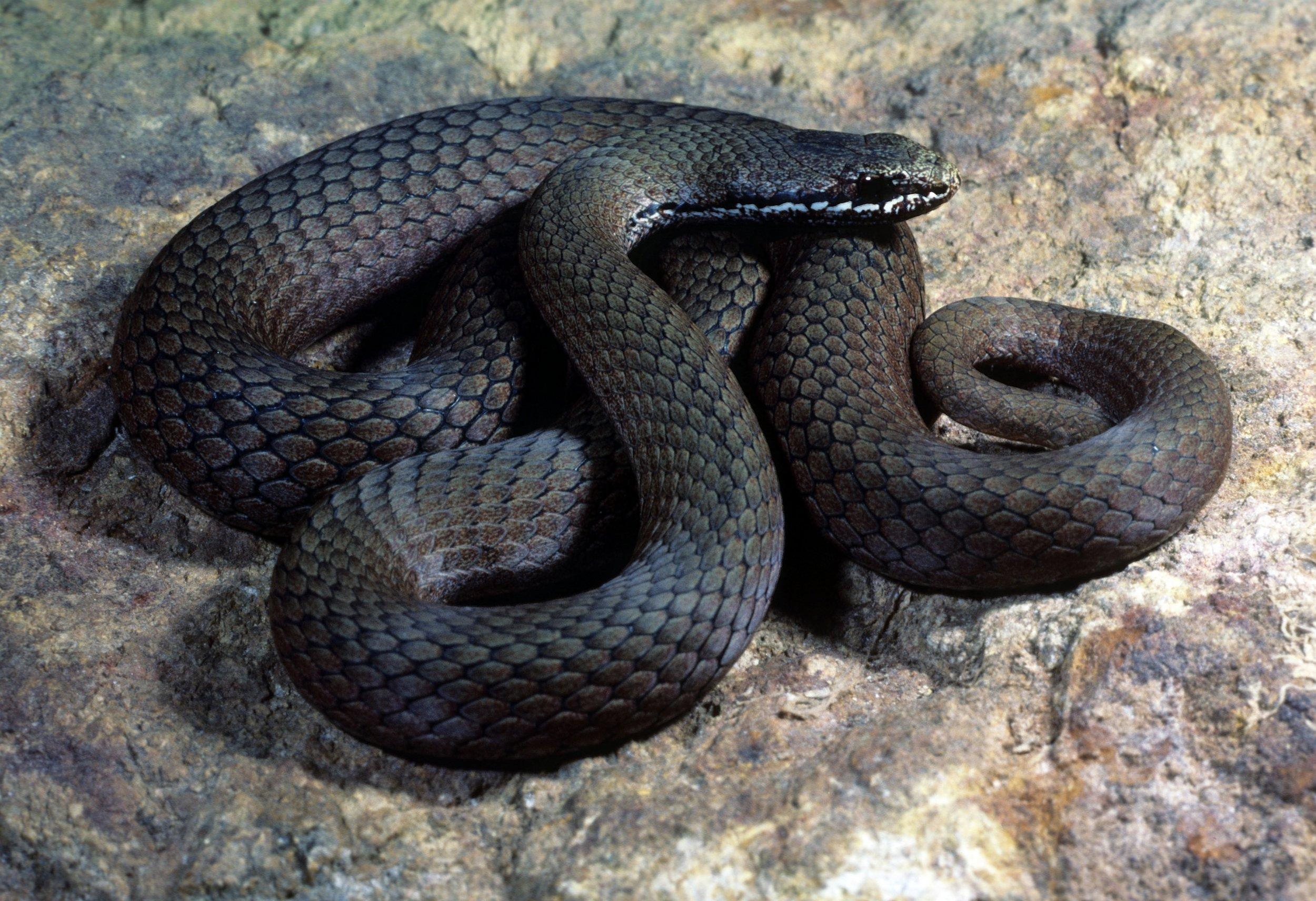 Thousand Lakes Lodge - white lipped snake