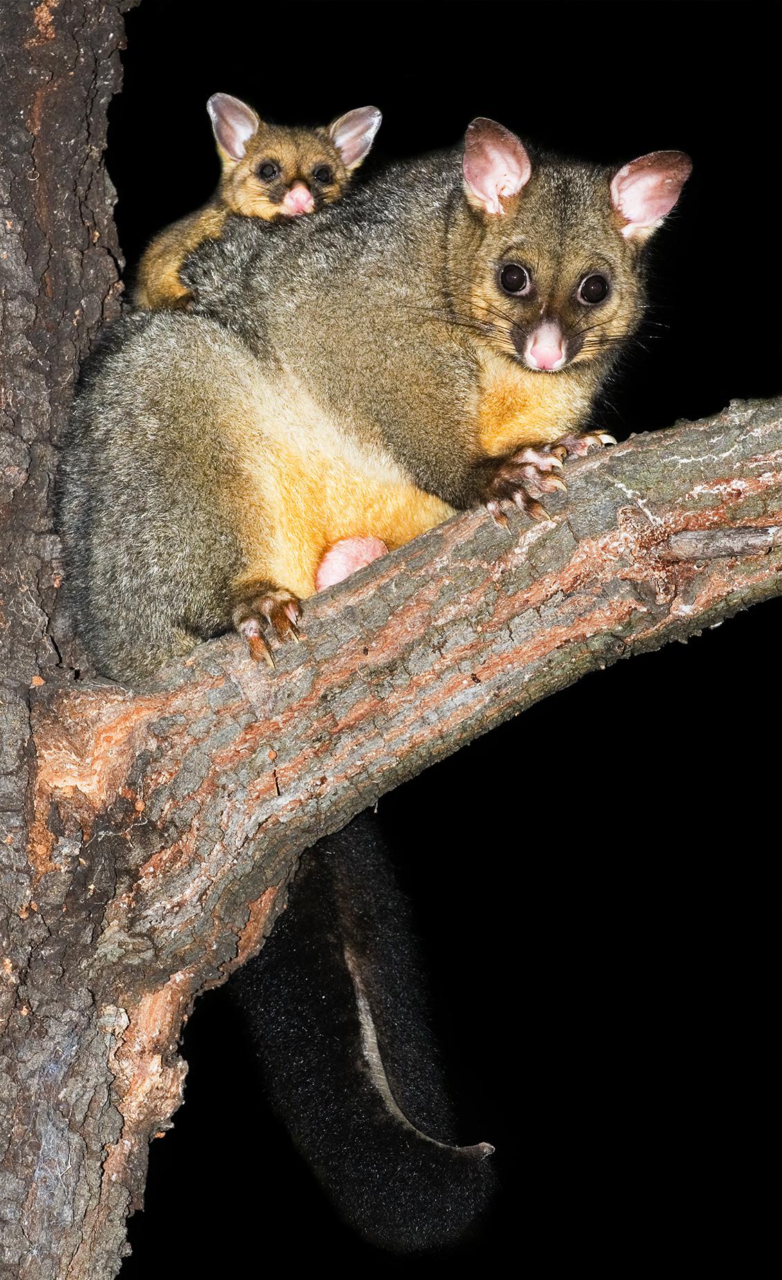 Thousand Lakes Lodge - ringtail possum