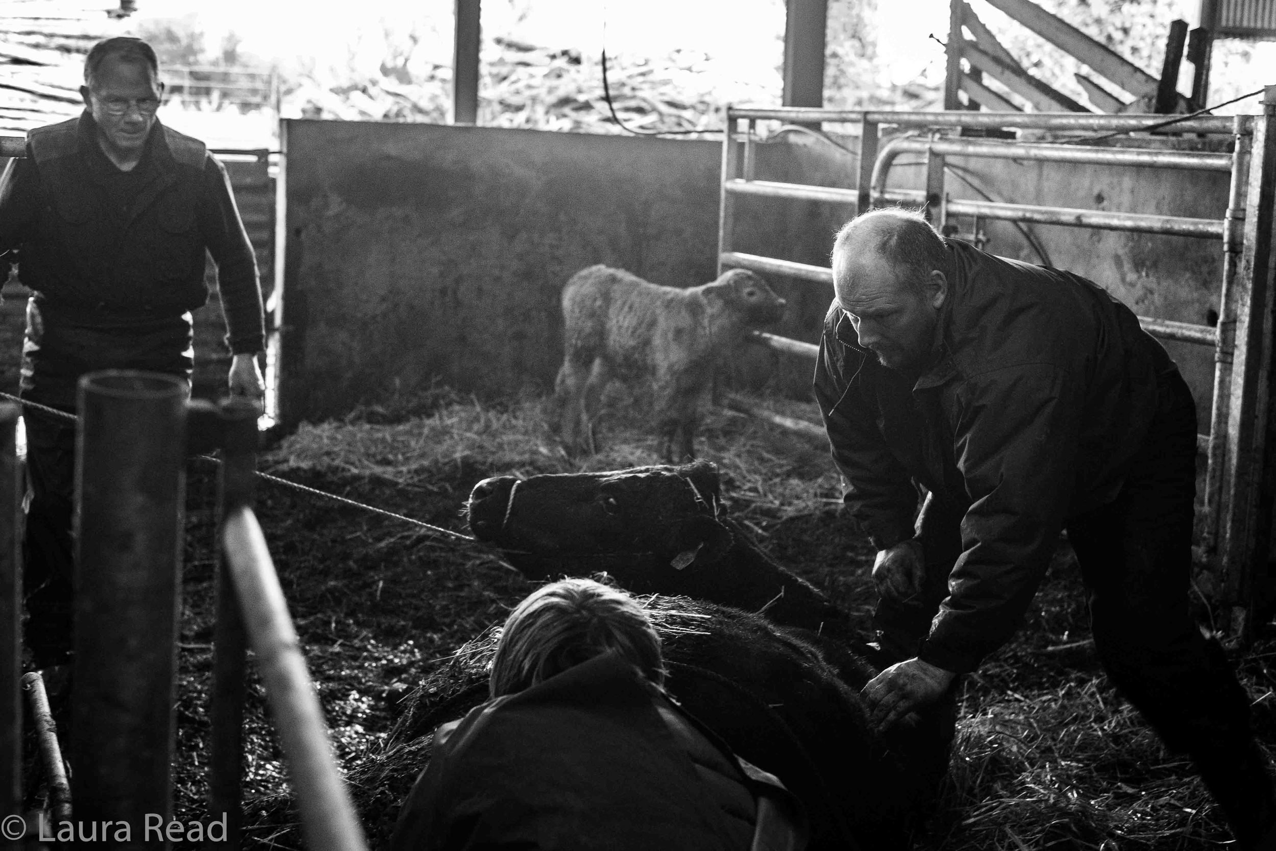 While I was interviewing Oliver Nagle, right, and his father, Pat Nagle, left, about their livestock management practices in the Burren region of County Clare, Ireland, an emergency in the barn put a stop to the conversation. A cow was having problems giving birth. A vet arrived - her name was Geraldine van Leeuwen - and the two men joined her in the birth stall. They allowed me to photographs the scene. These photos record what transpired. WARNING: These are not for the squeamish!