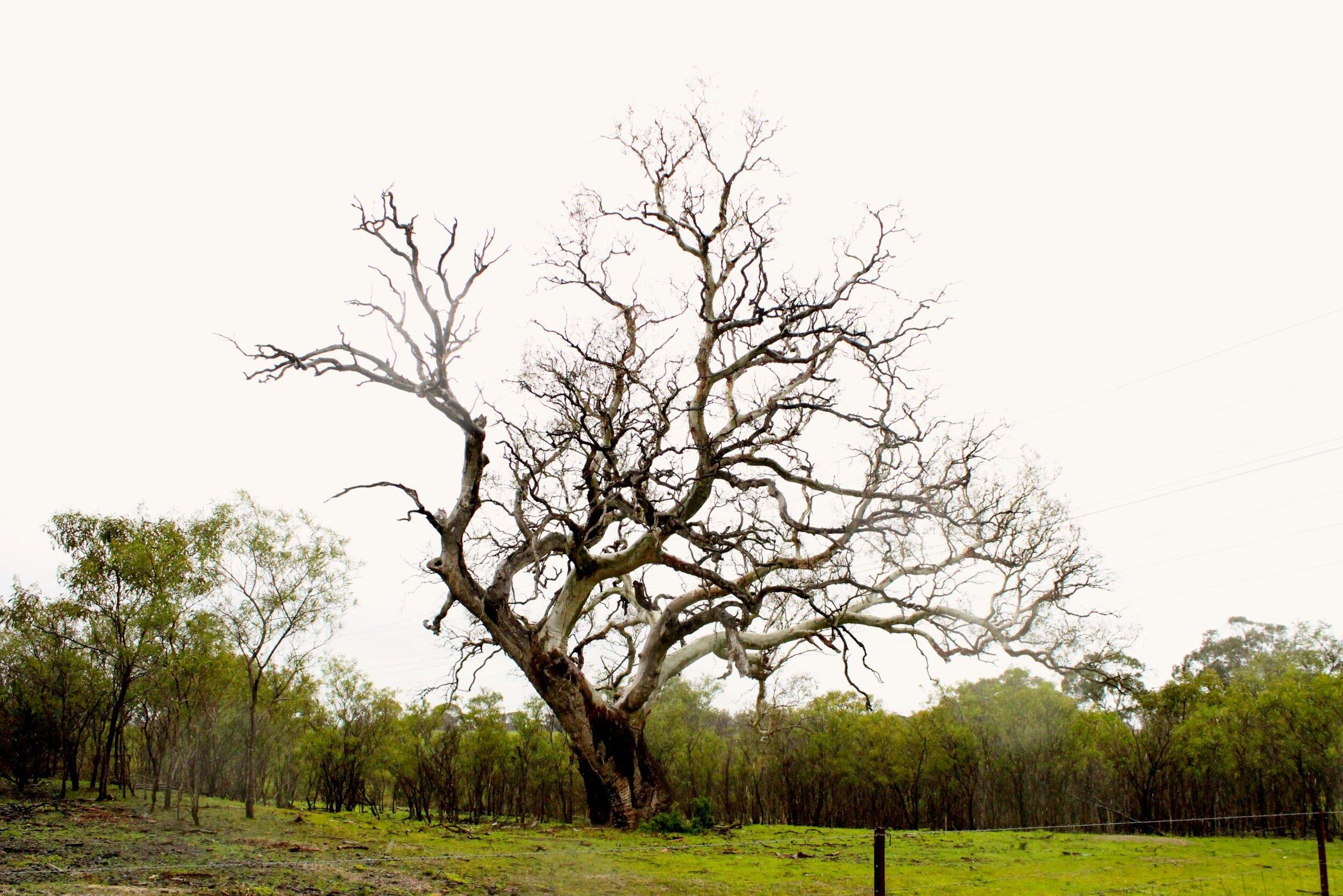 A dead 300 year old river gum tree near the Lascelles Dam.