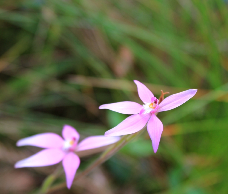 Pink fairy orchid
