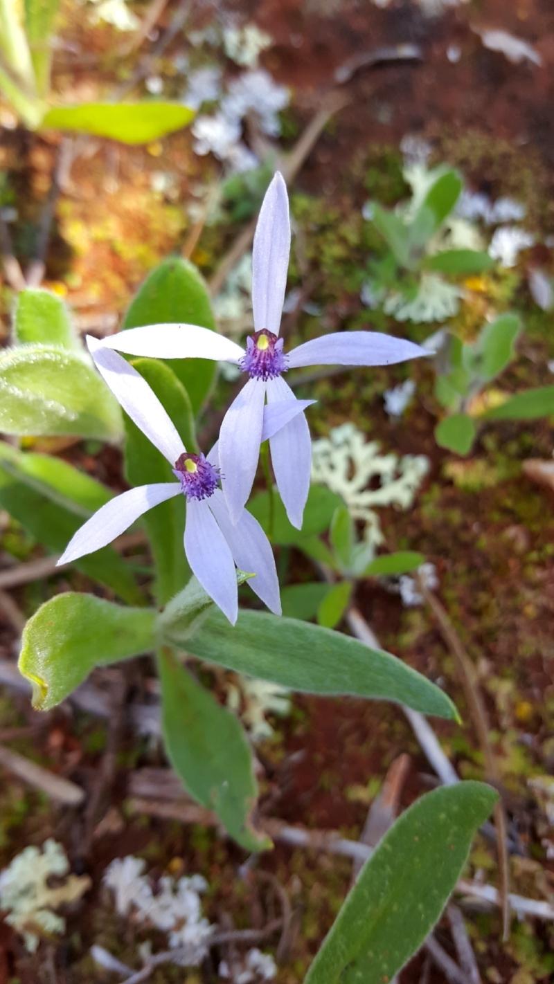 Pheladenia sp.