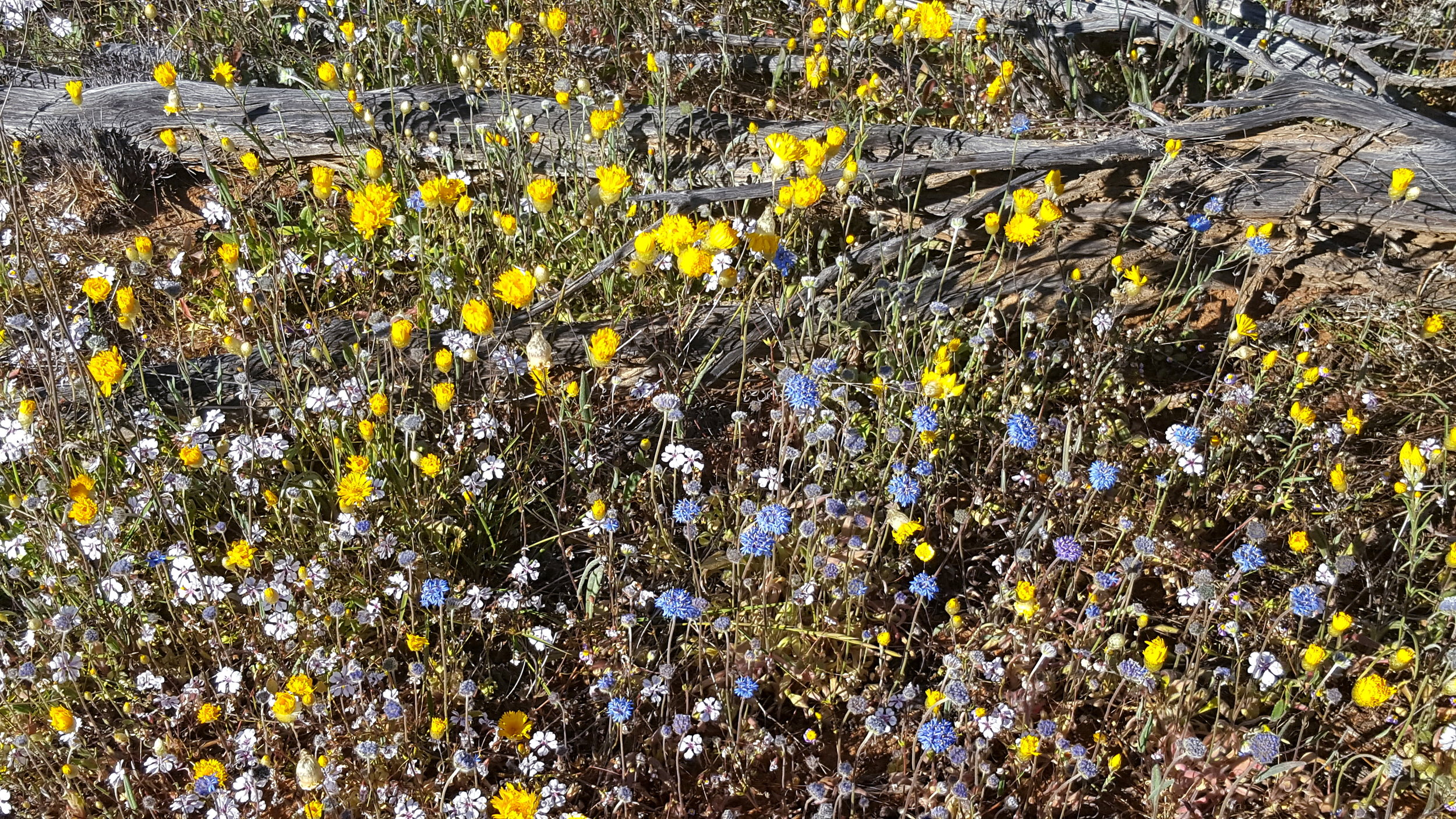 Mix of species in West Perenjori Reserve including  Velleia rosea  (white),  Podolepis canescens  (yellow), and  Brunonia australis  (blue)