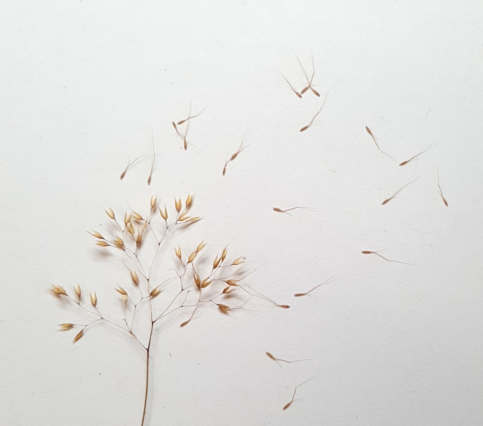 (3) Pentameris airoides  seed