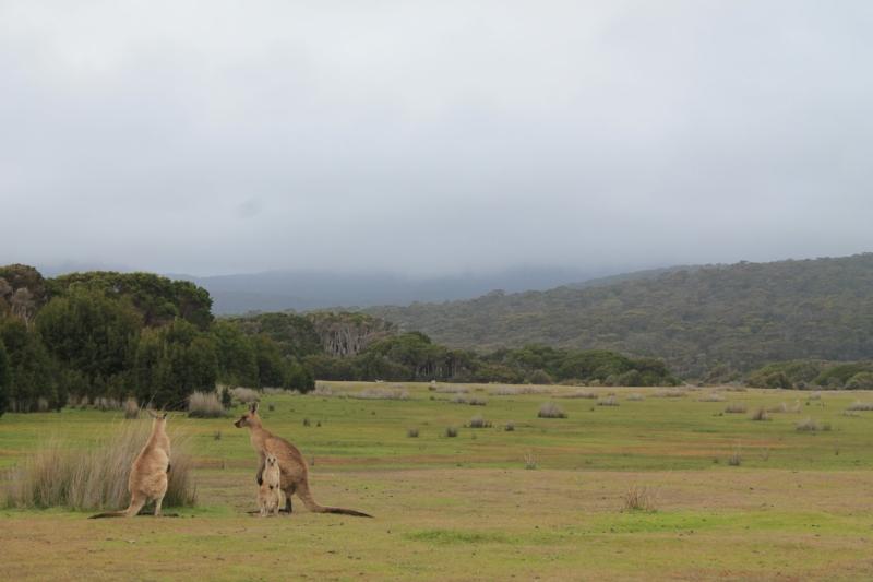 Kangaroos at Narawntapu NP