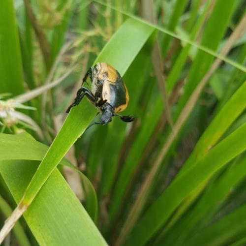 Cowboy beetle ( Chondropyga dorsalis )