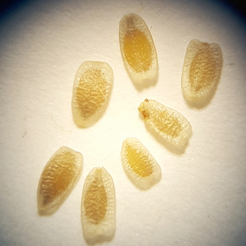 Hyalosperma glutinosum
