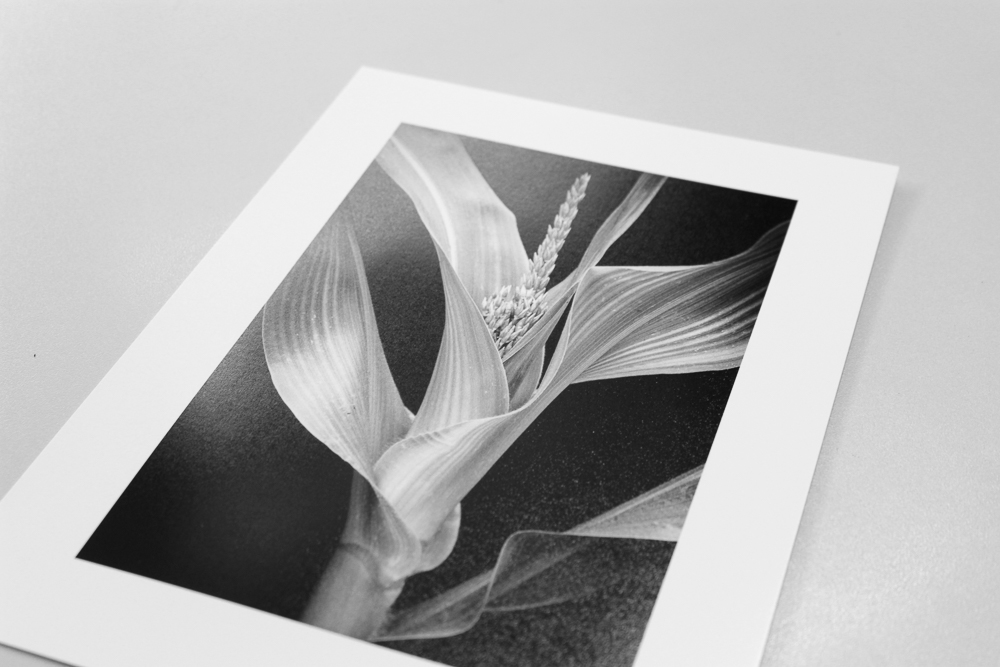 Young Corn print on Canson Baryta Photographique paper
