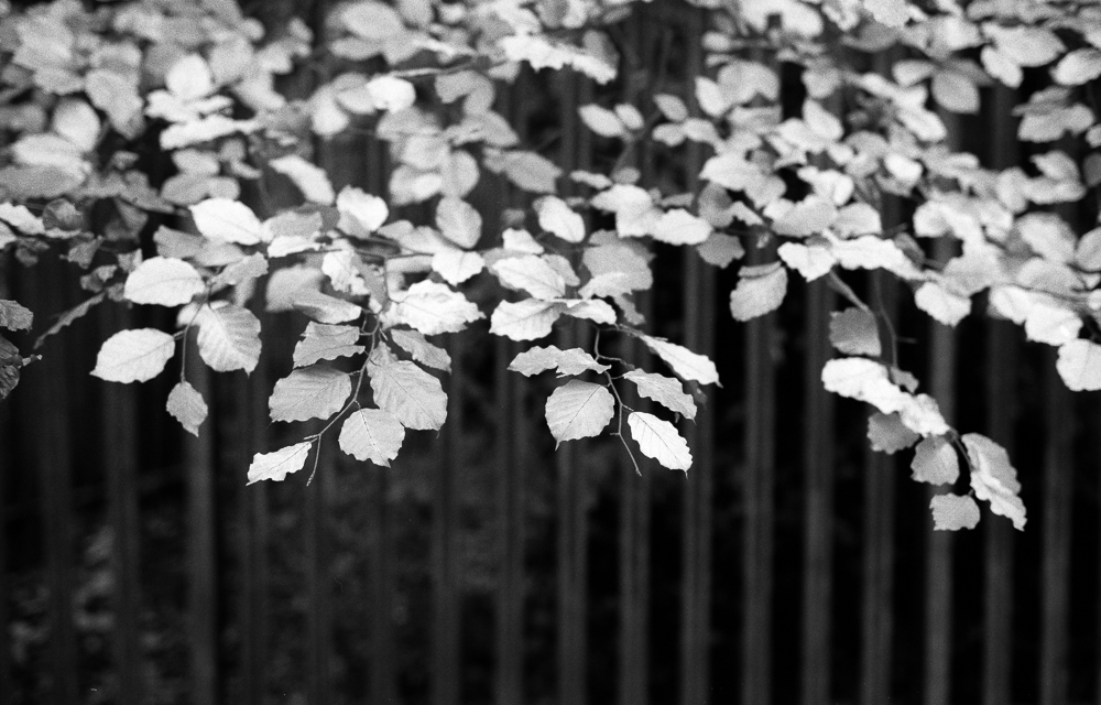 Leaves and Fence, Kodak TMAX 100 film in Ilford HC developer