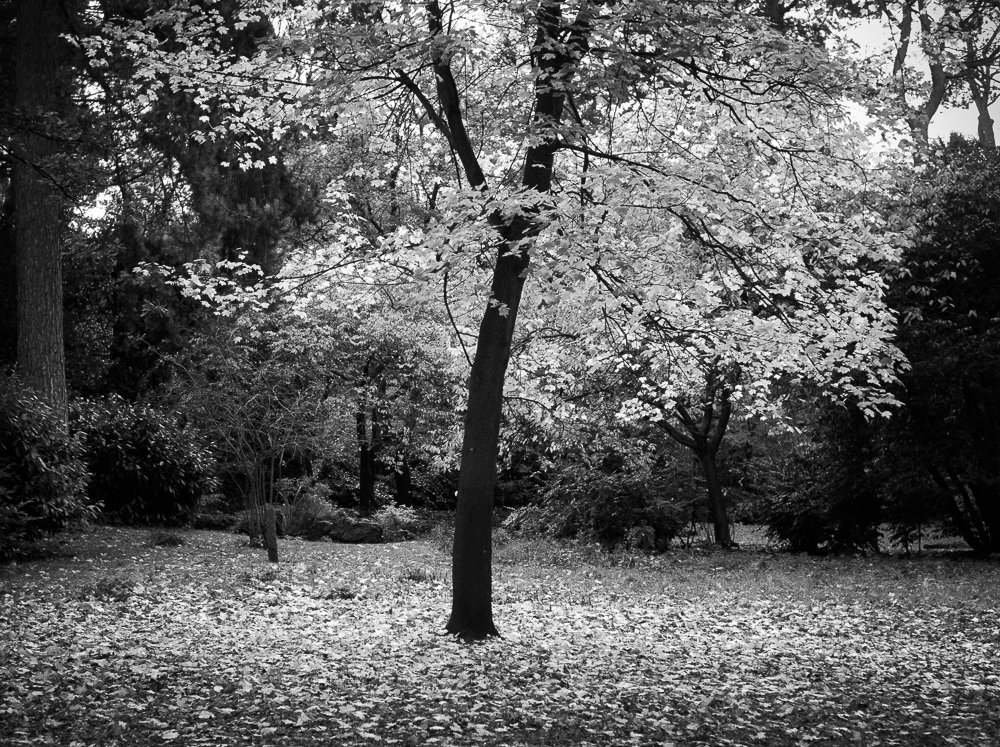 Lone Tree, Kodak TMAX 100 in HC developer