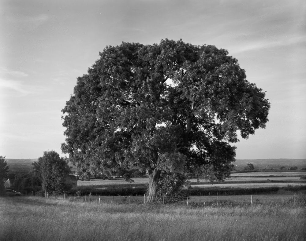 The 10x8 format is well suited to the revealing the details of this majestic tree. Unfortunately this negative betrays an early processing mistake I made: witness the line down the right hand side from too-even tray agitation.