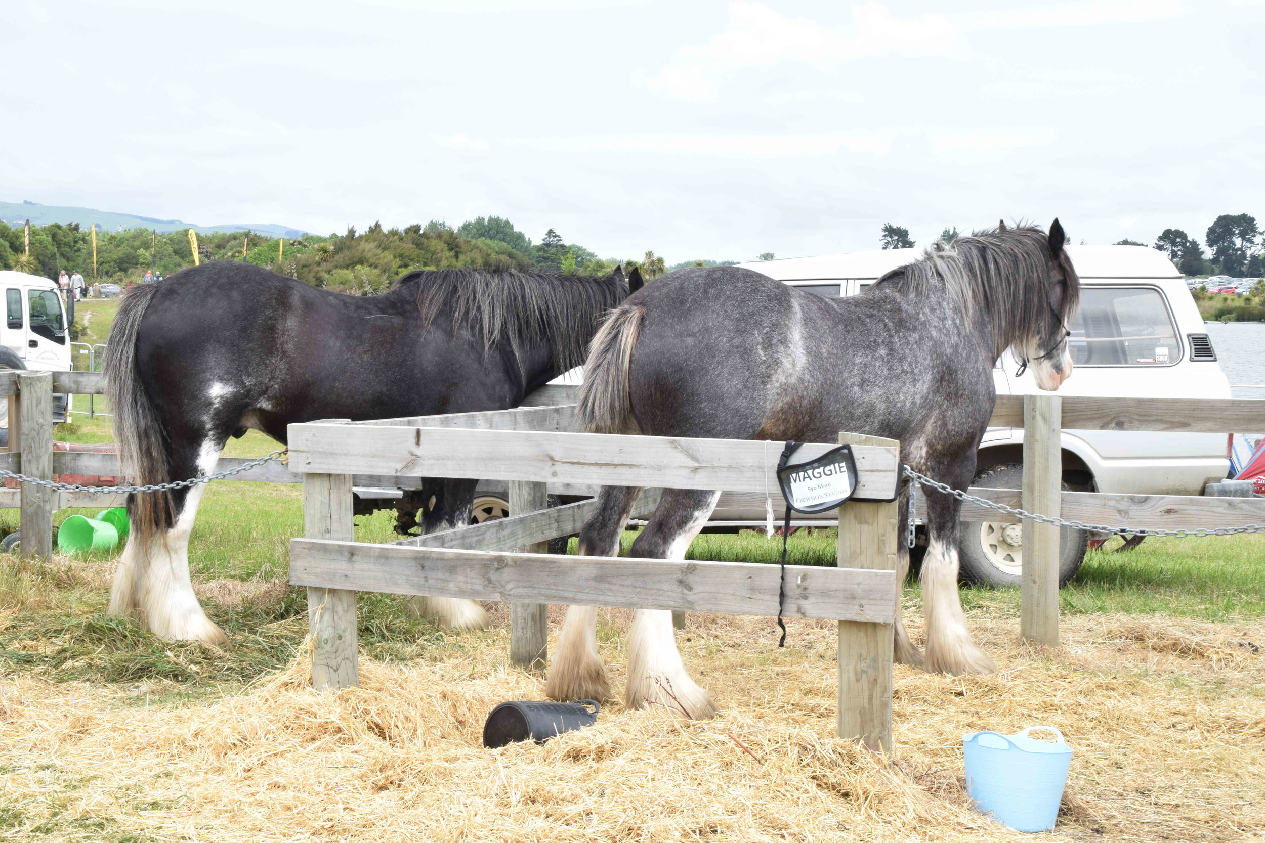 As always, animals were the attraction of the event; seen above are the Ballantynes Clydesdales