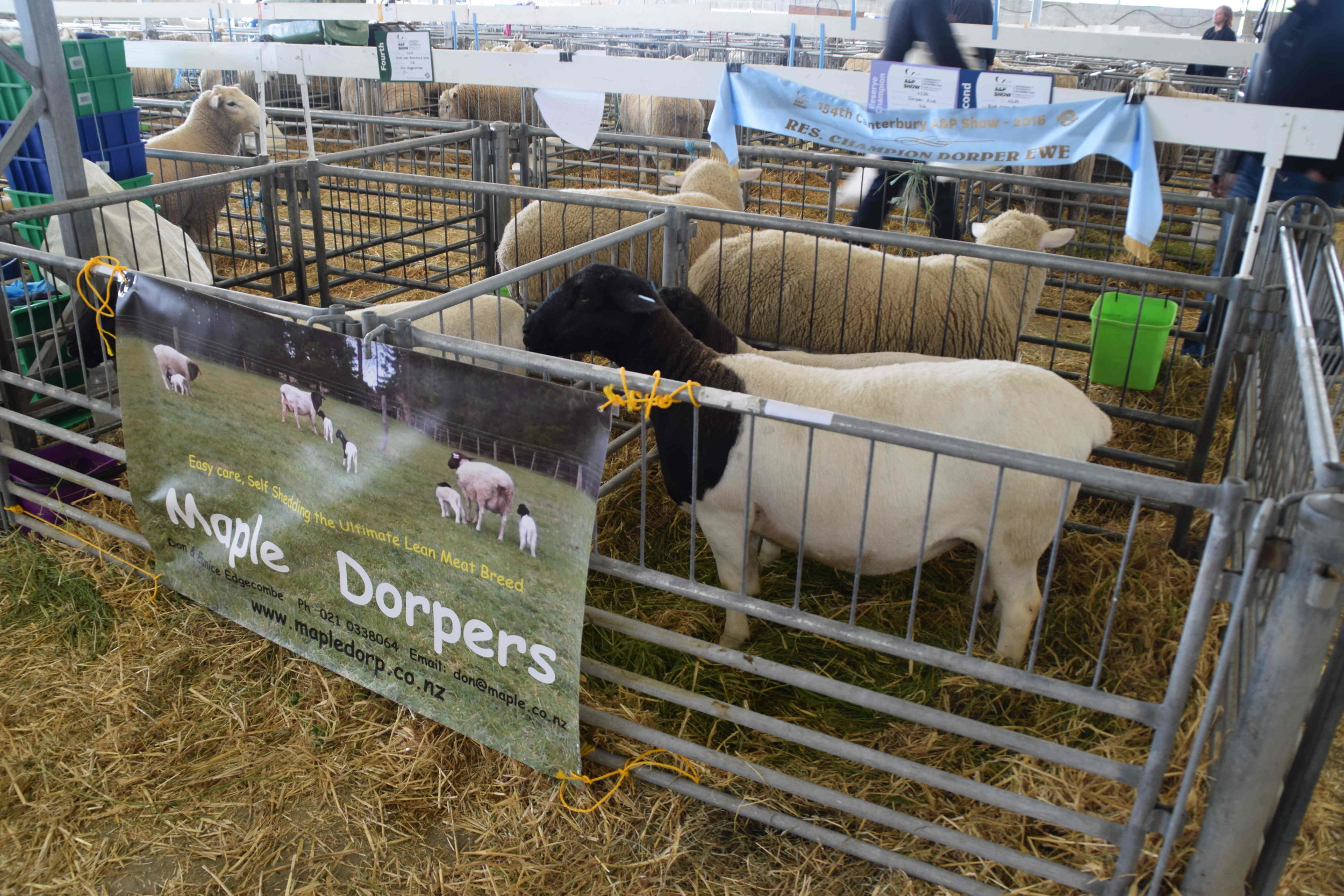 Maple Dorpers - a sheep breed known for its self shedding of wool