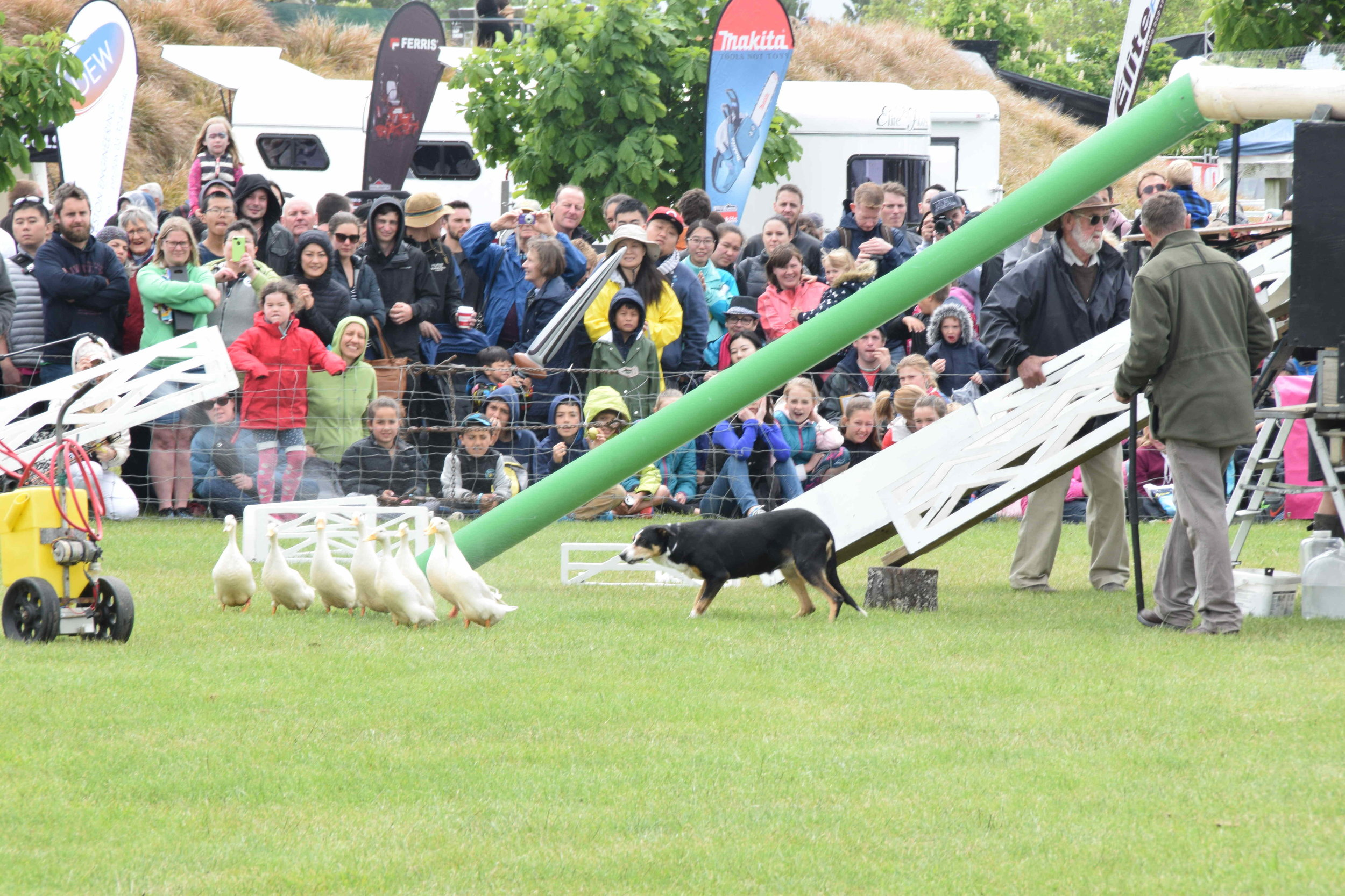 Duck herding (above); showcasing farm dogs, which are purpose-bred dogs that are trained to round up stock and shift animals through gates, into pens and onto trucks