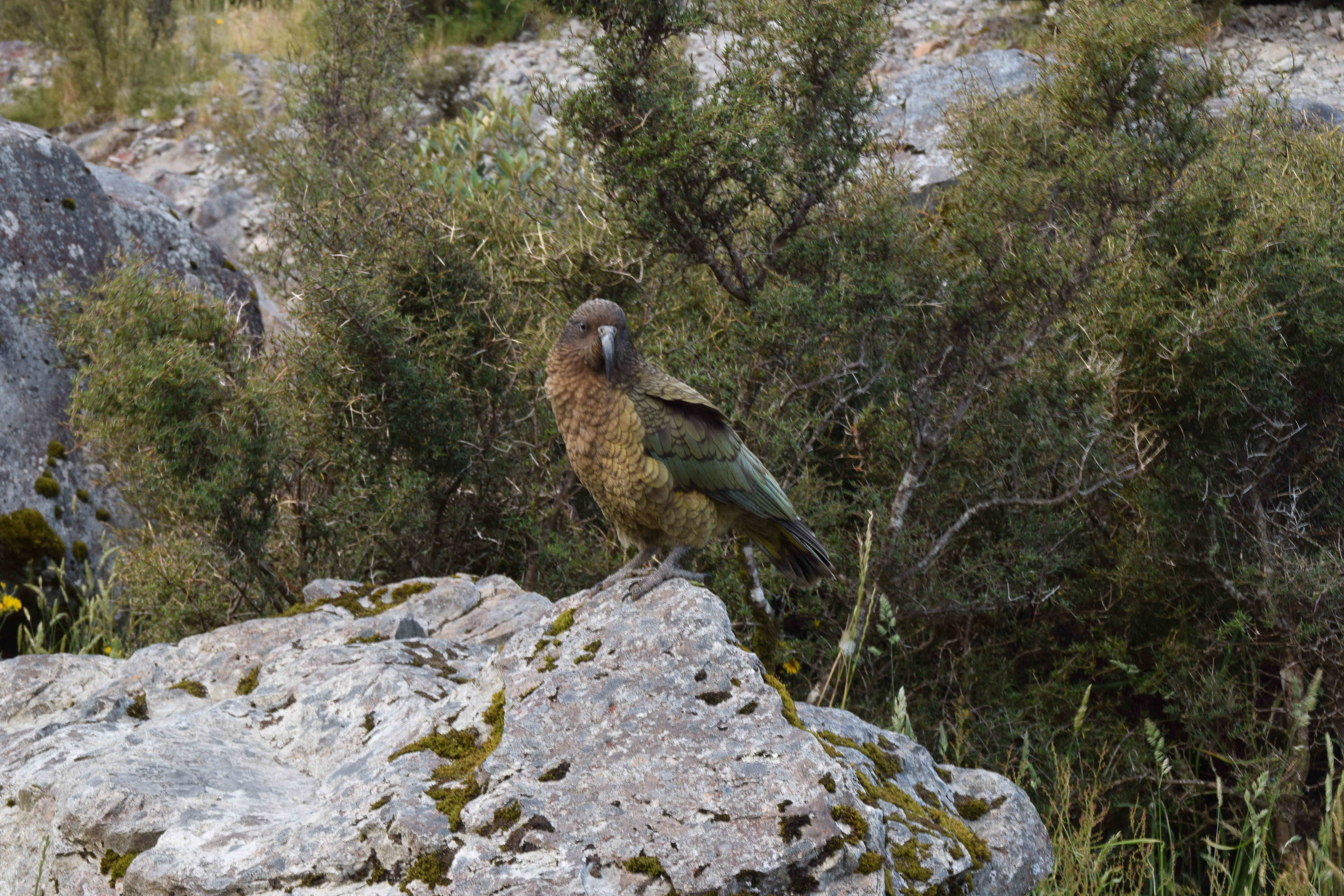 New Zealand's very own Kea. An endemic and truly alpine parrot.
