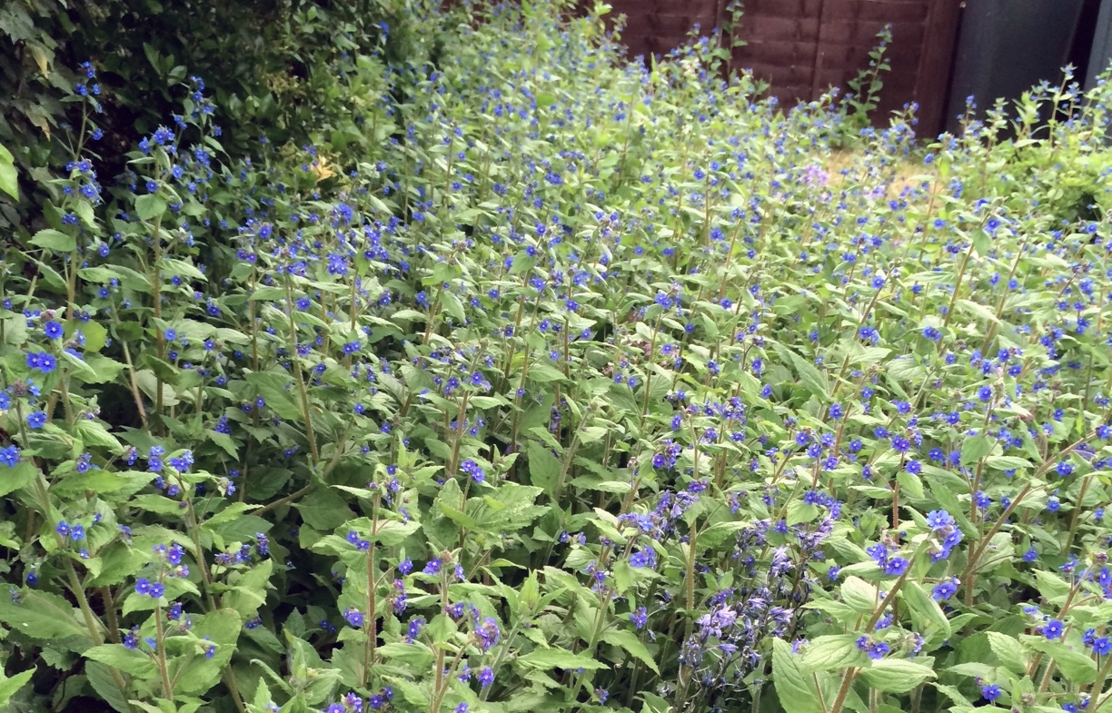 Green alkanet taking over a front garden... what's not to like?