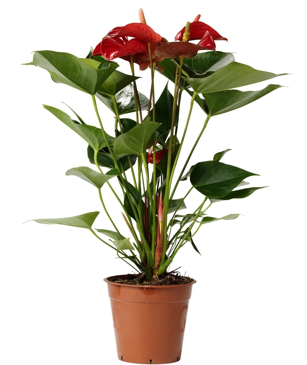 anthurium-potted-plant-flamingo-plant__0096591_pe236446_s5.jpg