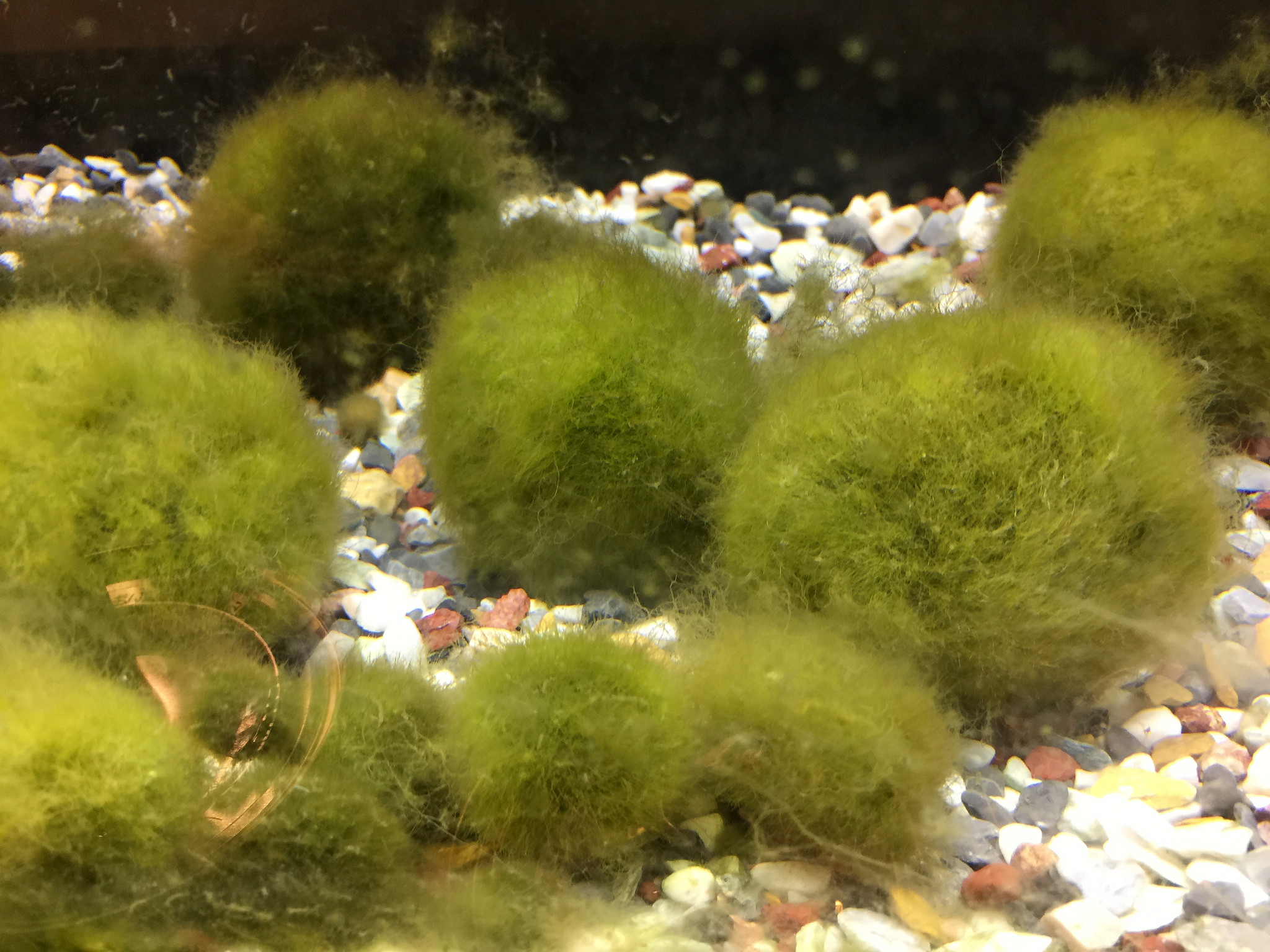 Marimo moss ball: it is a ball, but it's not moss ... Photograph by  bryansjs  on  Flickr .