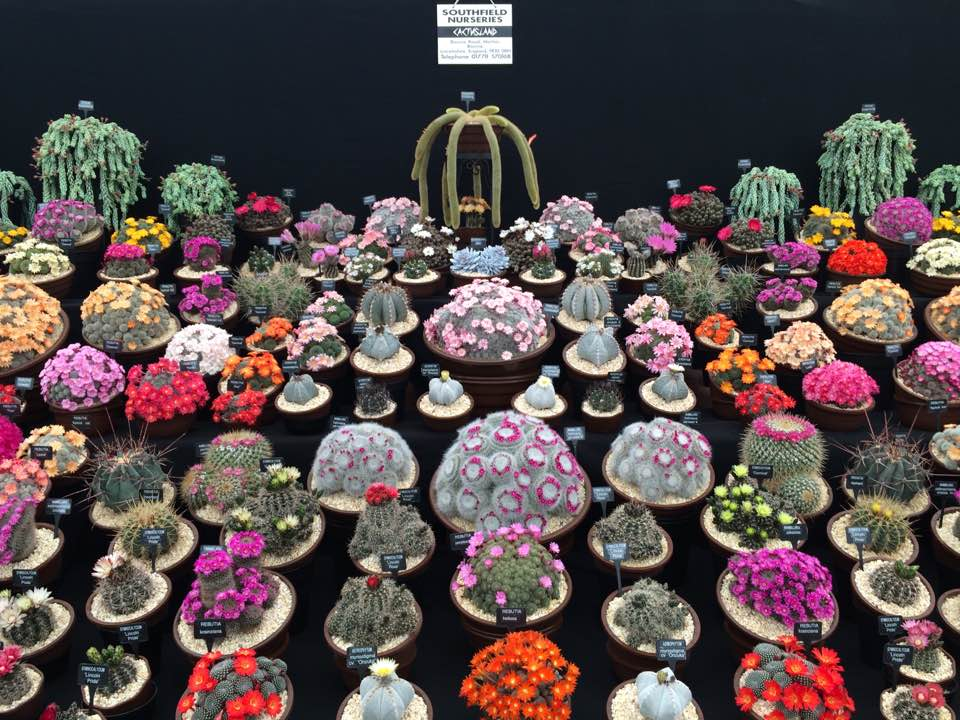 Cacti, collected: the Southfields Nurseries display at the Chelsea flower show, 2016. Photograph by Jane Perrone.