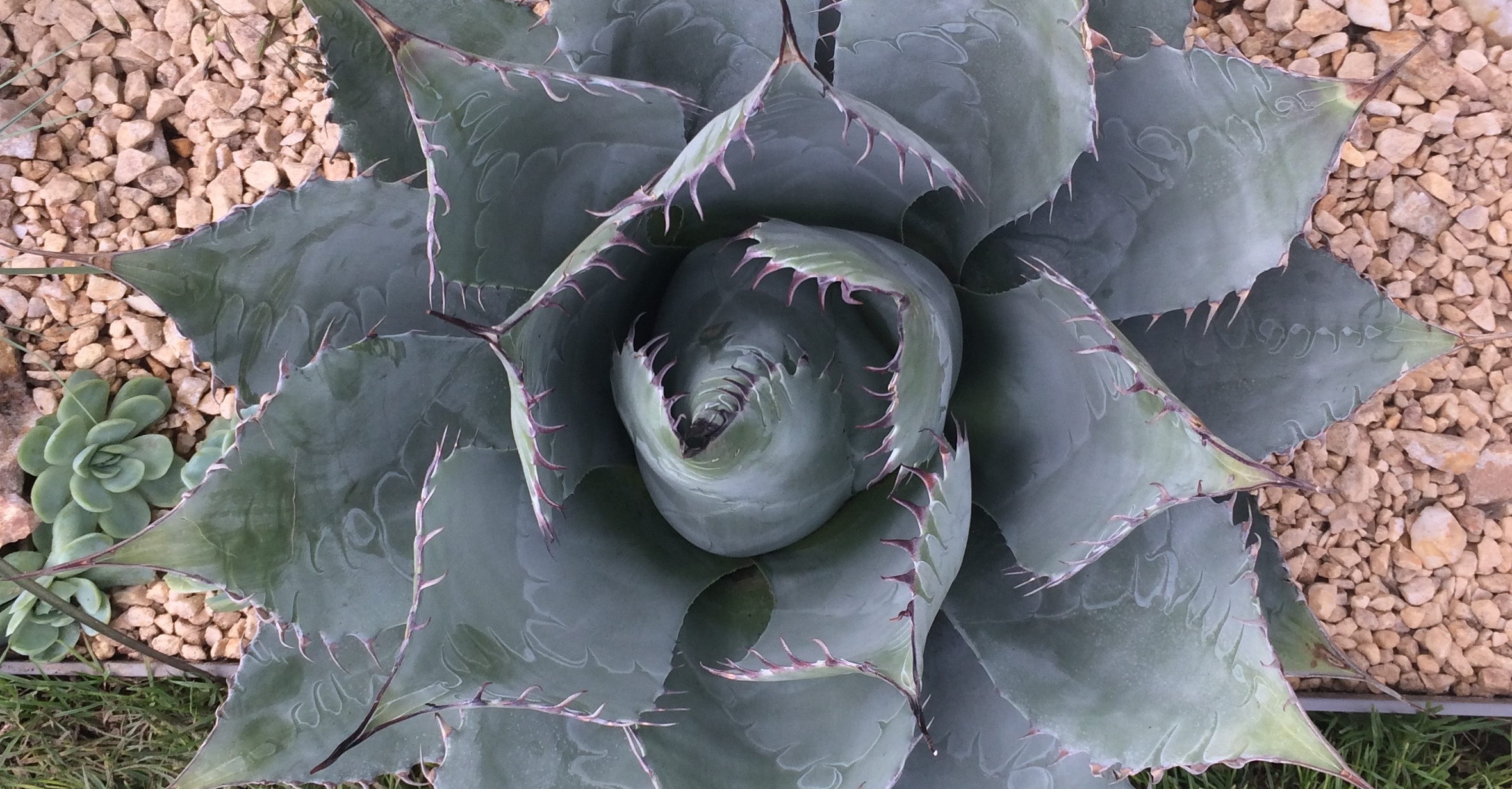 Succulents like this   Agave parryi   thrive outside in the warm climate of California; in the UK they probably need to be brought inside over winter unless you're in London. Photograph: Jane Perrone.