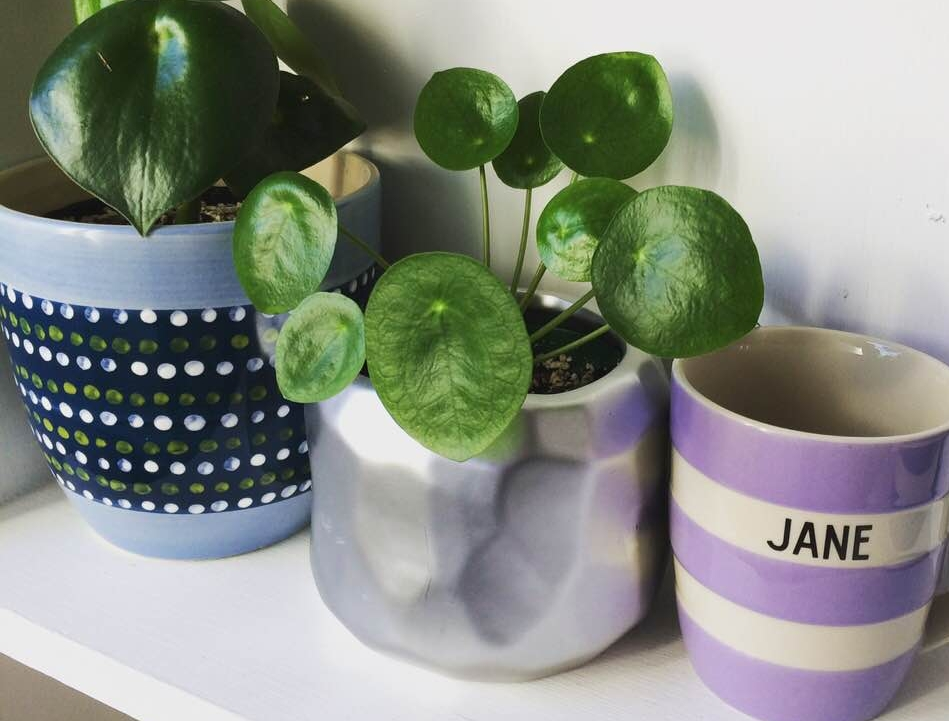 On the shelf: Pepromia bolybotrya 'Raindrop',  Pilea peperomioides  and a Cornishware mug.