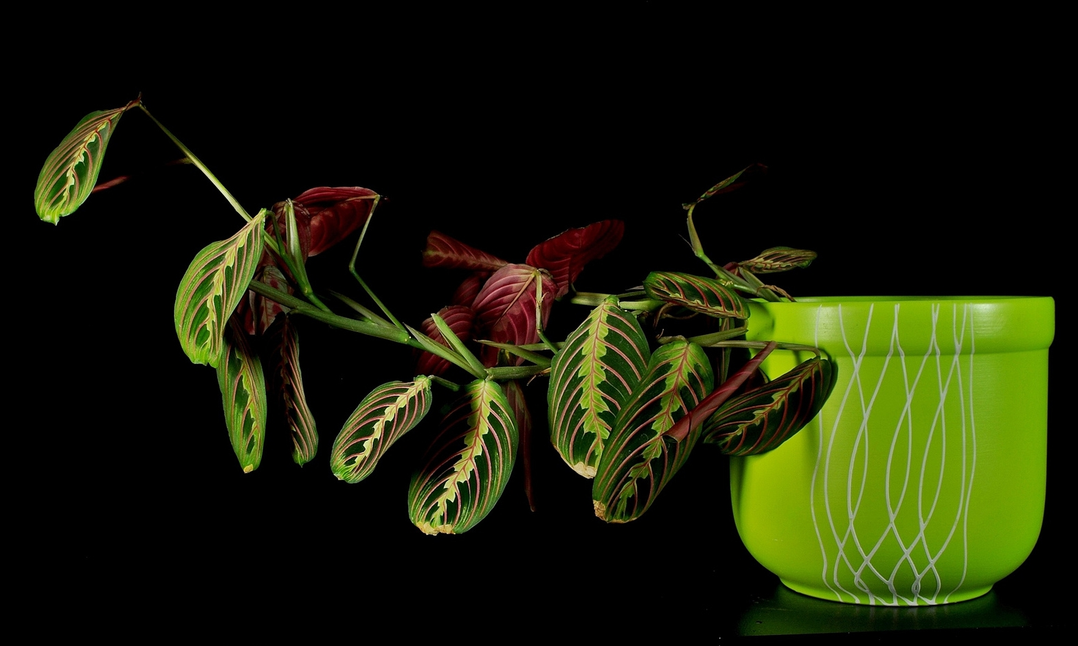The herringbone plant ( Maranta tricolor ) all set to pray. Photograph:  Babij  on  Flickr .