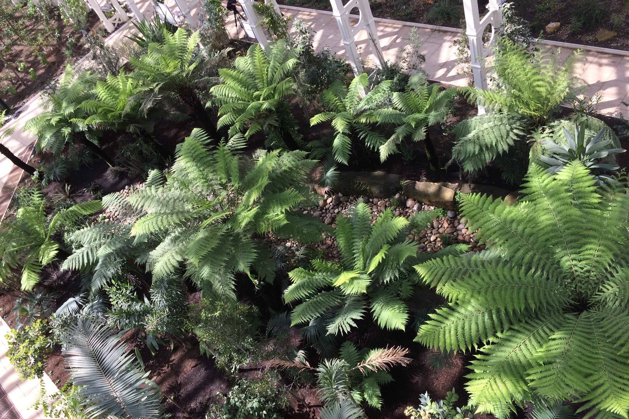 The tree fern gully in the Temperate House at Kew viewed from the walkway above.