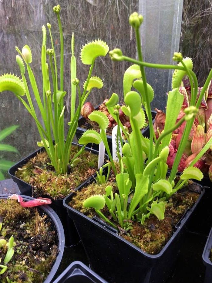 Dionaea  'Great White'