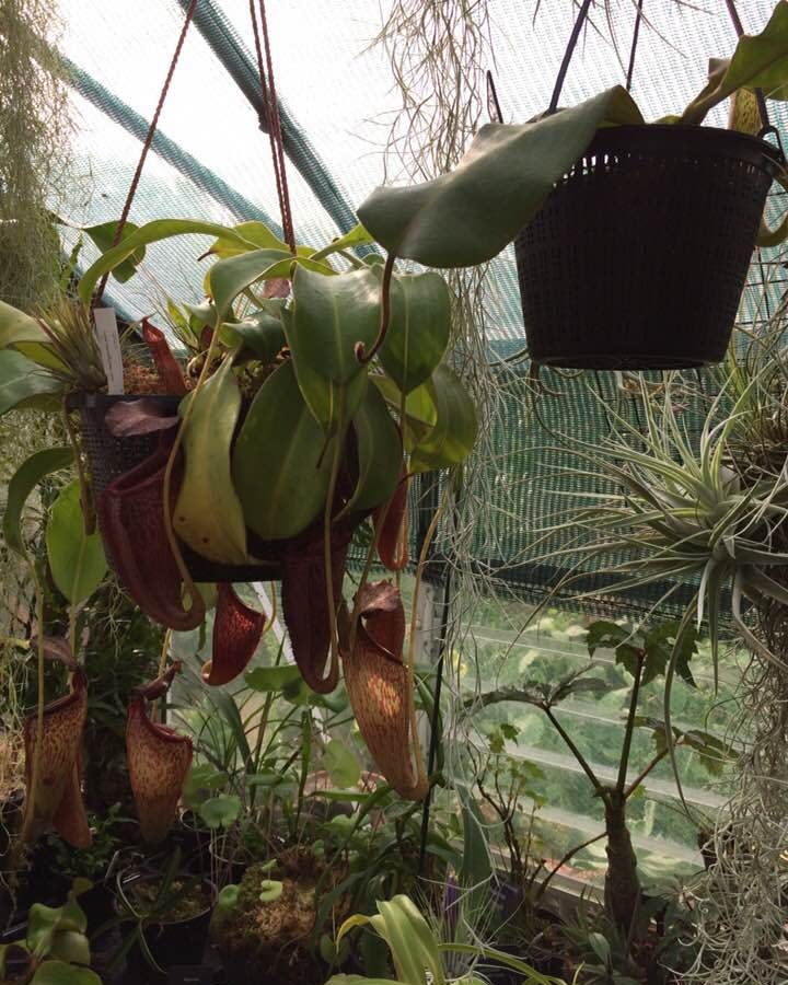 Nepenthes... powered by crickets.