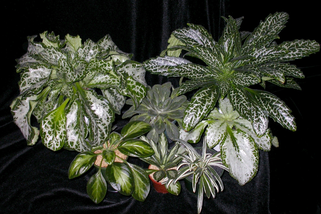 Primulinas not only have beautiful flowers, many also boast beuaitful variegated foliage.