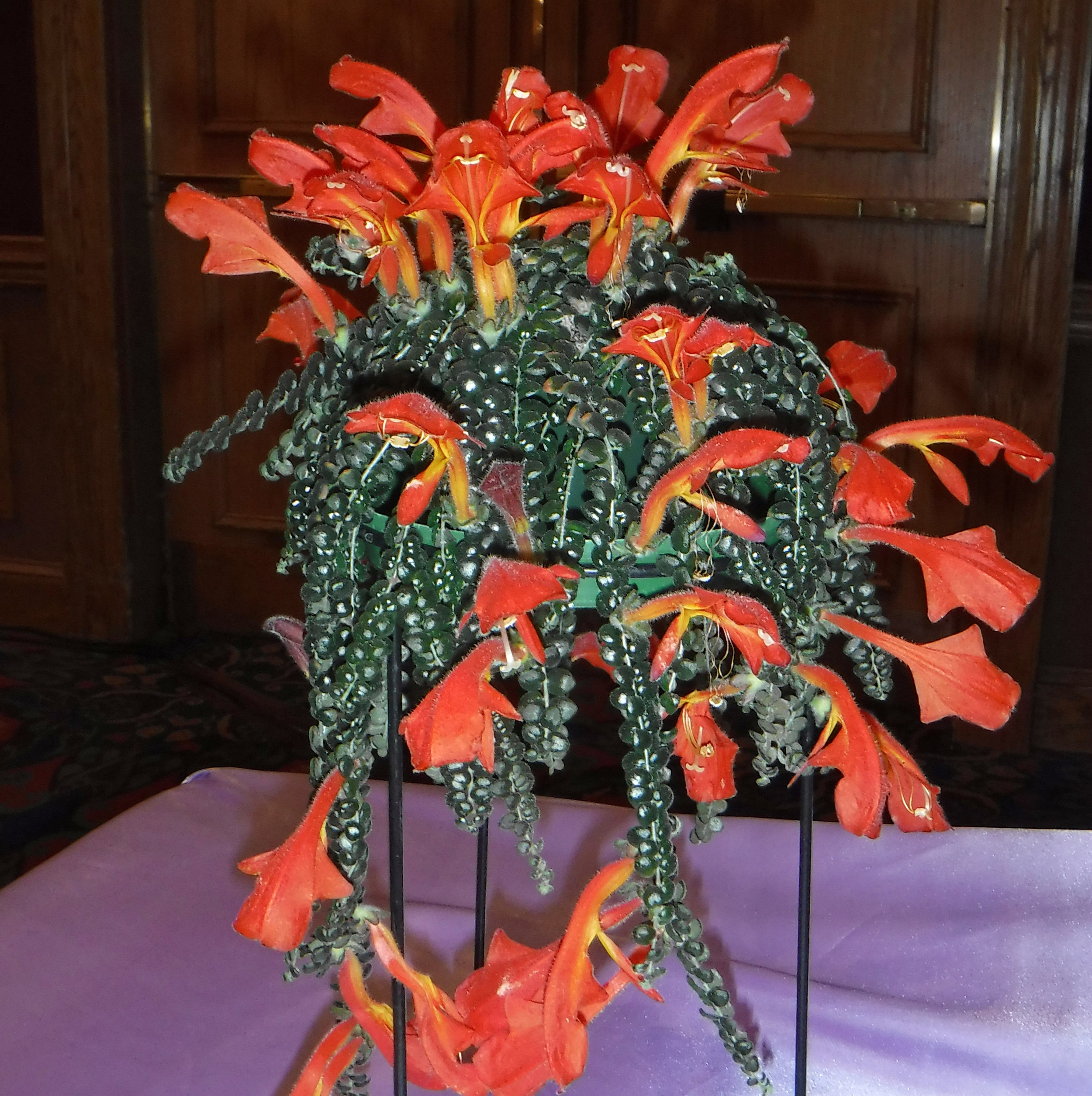 This  Columnea microphylla  won Canadian Beverley Williams the Best Other Gesneriad category at the 2018 African violet convention in New York recently. Photograph: the Gesneriad Society