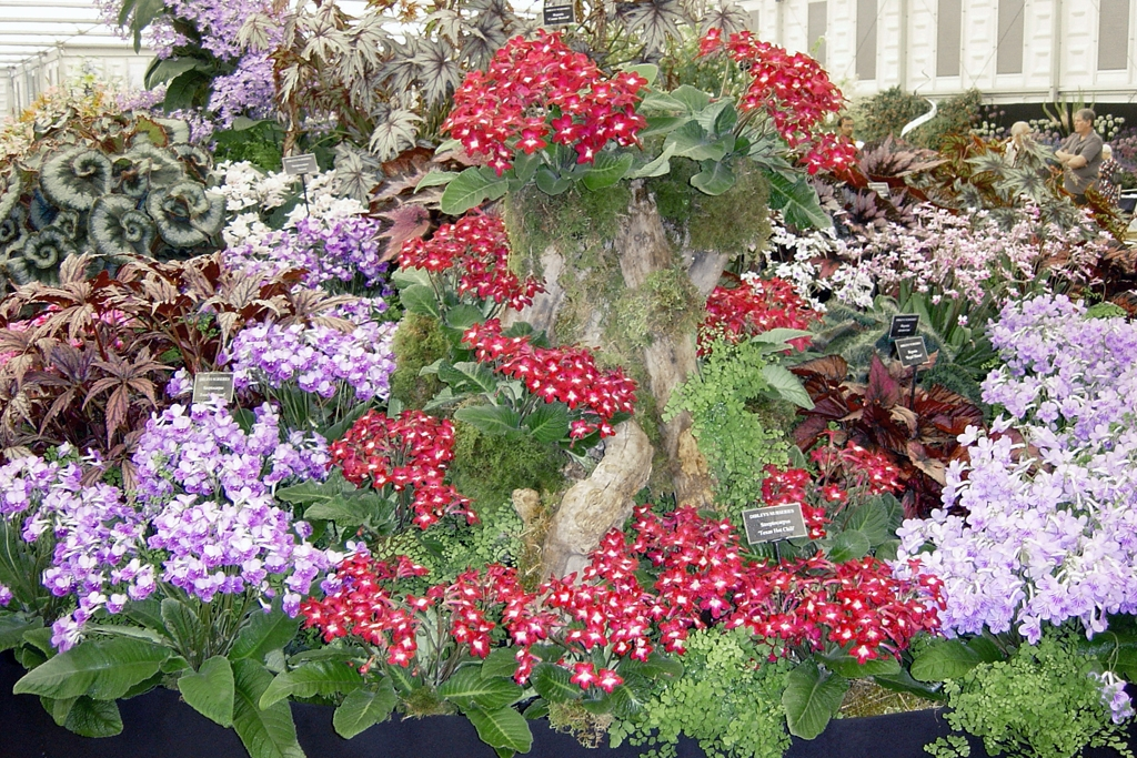 Dale Martens' hybrid Streptocarpus 'Texas Hot Chili' exhibited by Dibleys at the 2007 Chelsea flower show.