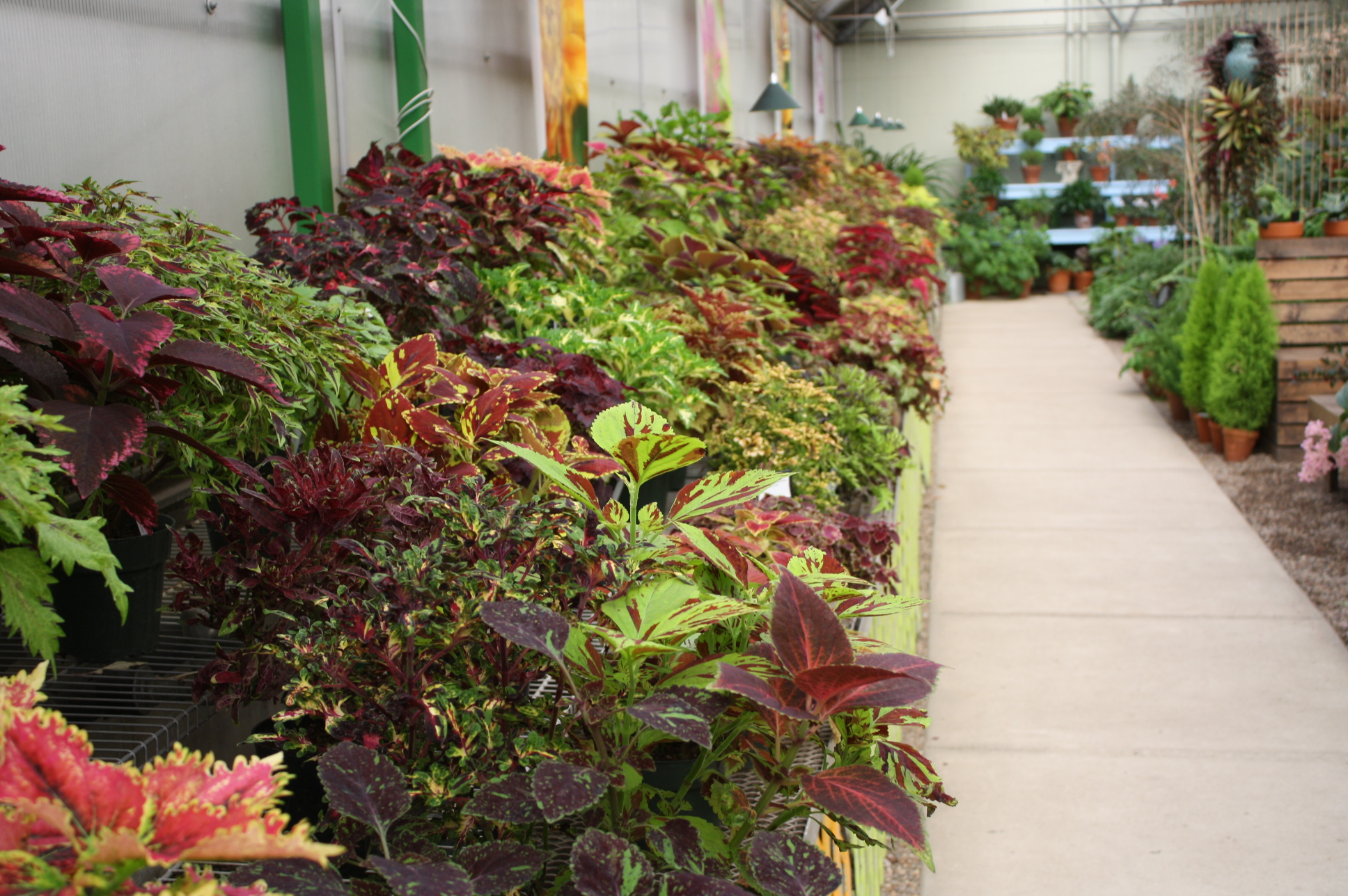 Episode 62 Coleus Jane Perrone