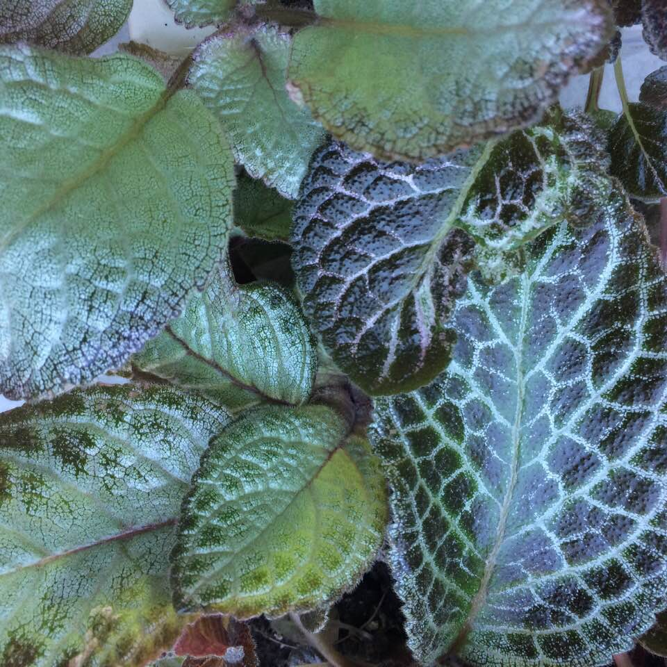 Variegation to the max: the leaves of some of my Episcias. Photograph: Jane Perrone